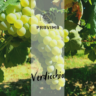 "440 years ago the first quotation of ""Verdicchio"" referred to Matelica"